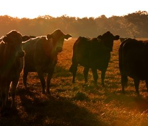 Cattle3sm